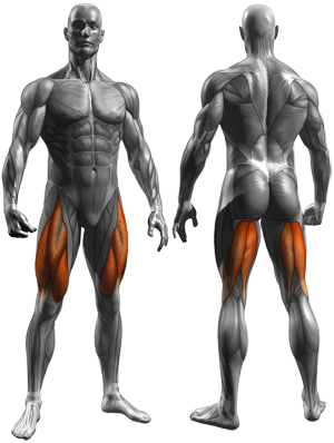 Thigh Adductor - Muscles Worked